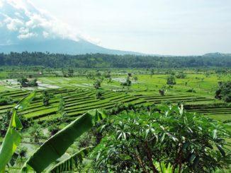 riziculture