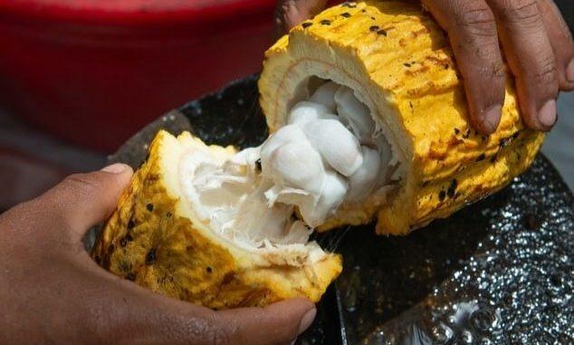 Un planteur ouvrant une cabosse de cacao.