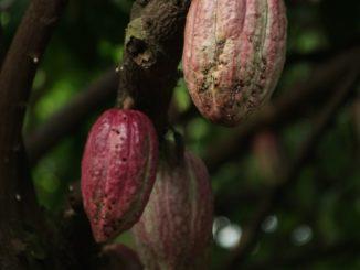 Des grappes de cacao mûres.