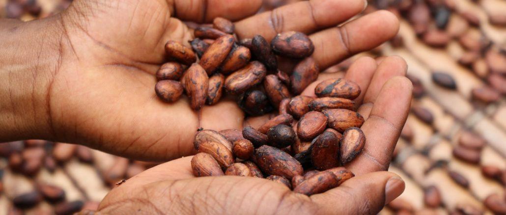 Des fèves de cacao dans les mains d'une jeune fille.