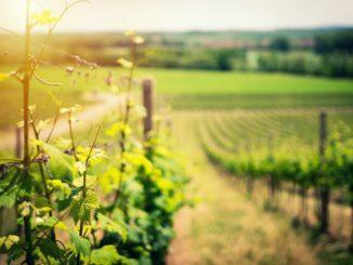 Un vignoble en été.