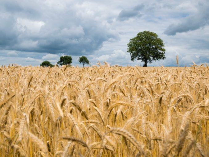 Un champ de blé en Allemagne.