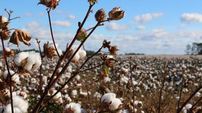 Un champ de coton.