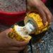 Une jeune homme en train de fendre une cabosse de cacao.